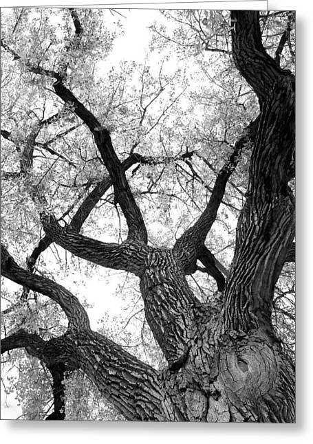 Lightning Gifts Greeting Cards - Old Cottonwood Tree Greeting Card by James BO  Insogna
