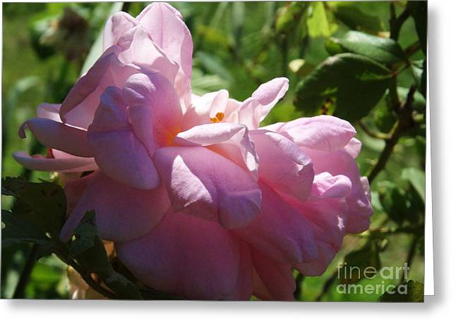 Heavenly Scent Greeting Cards - Old Fashion Rose Two Greeting Card by J L Zarek