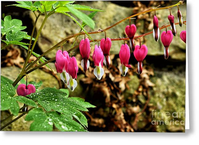 Dicentra Spectabilis Greeting Cards - Old-fashioned Bleeding Heart Greeting Card by Thomas R Fletcher
