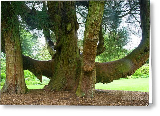 Old Tree Photographs Greeting Cards - Old huge tree Greeting Card by Heiko Koehrer-Wagner