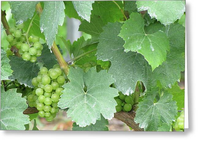 Grape Vineyard Greeting Cards - Old Mission Jewels Greeting Card by Kelly Mezzapelle