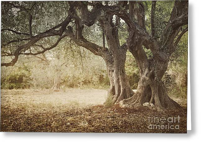 Old Olive Tree Greeting Card by Mythja  Photography