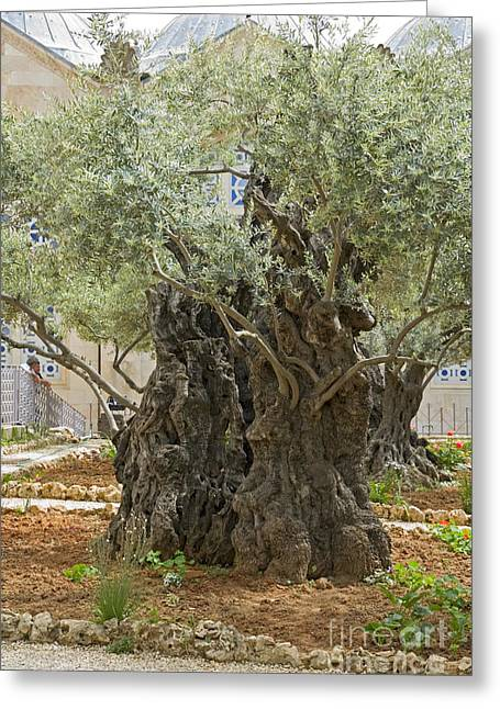 Christ Gethsemane Greeting Cards - Old Olive trees Gethsemane Jerusalem Greeting Card by Ilan Rosen
