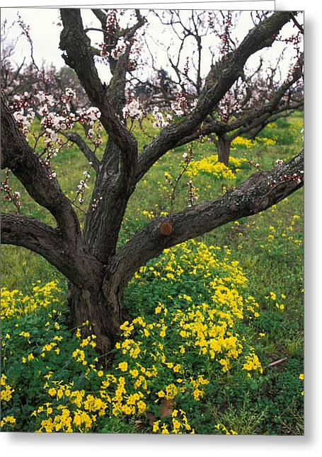 Orchards Prints Greeting Cards - Old Orchard in Bloom Greeting Card by Kathy Yates