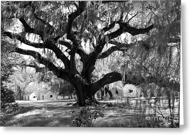 Old Plantation Tree Greeting Card by Melody Jones
