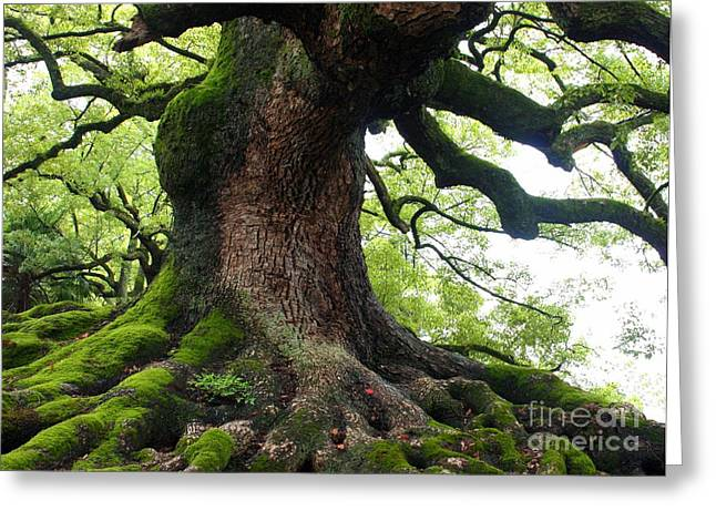 Japanese Trees Greeting Cards - Old Tree in Kyoto Greeting Card by Carol Groenen