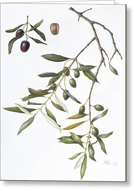 Olive Greeting Card by Margaret Ann Eden