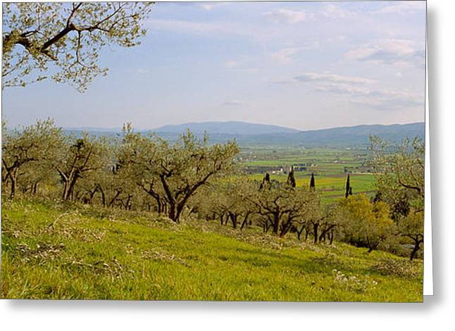 Olive Orchard On A Landscape, Assisi Greeting Card by Panoramic Images