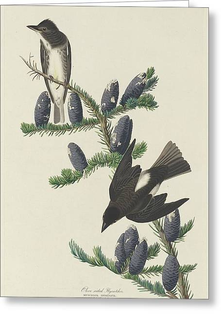 Small Bird Greeting Cards - Olive-Sided Flycatcher Greeting Card by John James Audubon