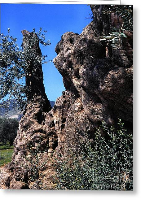 Olive Oil Greeting Cards - Olive Tree 2000 Years Old Greeting Card by Thomas R Fletcher