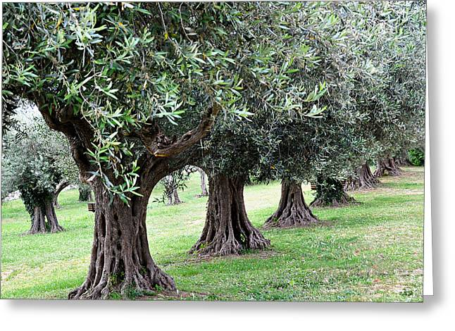 Olives Greeting Cards - Olive Trees in Umbria Greeting Card by Marion McCristall