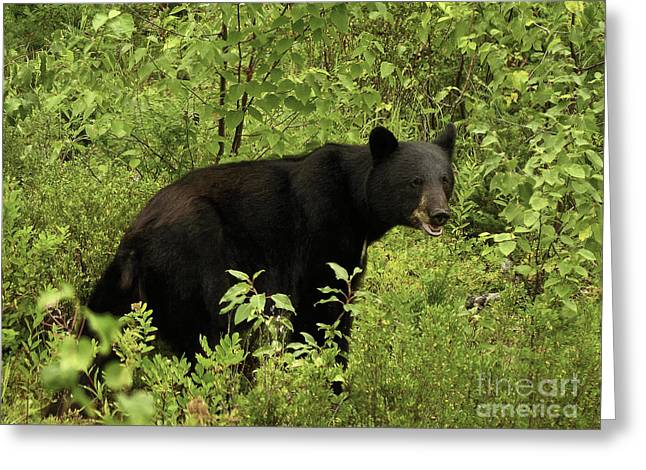 Charlotte Greeting Cards - Olympic Black Bear  Greeting Card by TAPS Photography