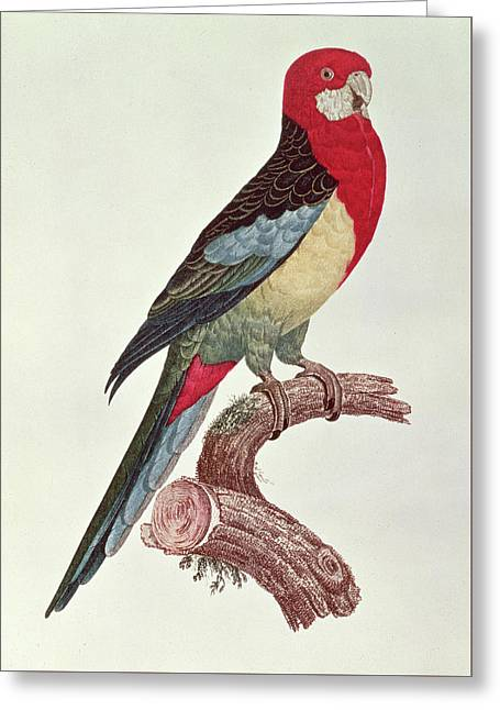 Omnicolored Parakeet Greeting Card by Jacques Barraband