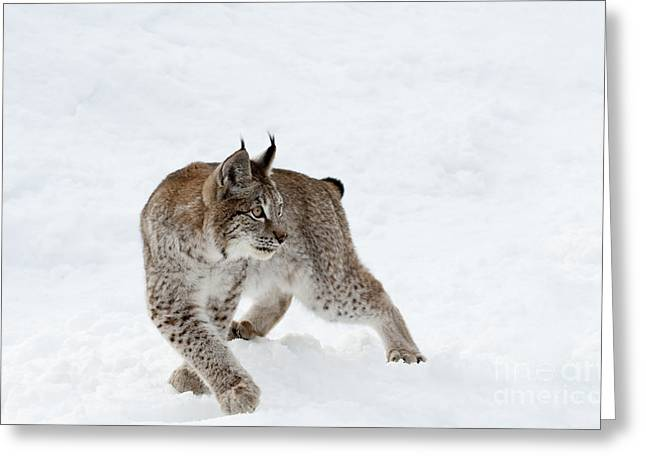 Lynx Greeting Cards - On High Alert Greeting Card by Sandra Bronstein
