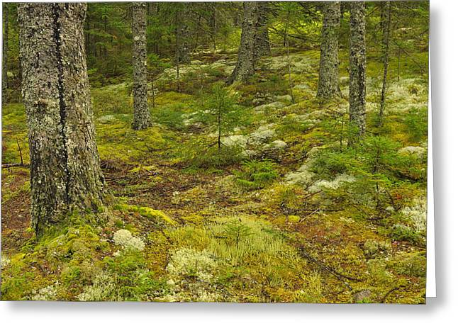 Forest Floor Greeting Cards - On The Forest Floor - Acadia Greeting Card by Stephen  Vecchiotti