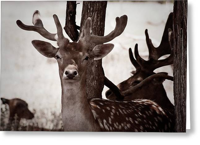 Axis Greeting Cards - On the Lookout Greeting Card by Douglas Barnard