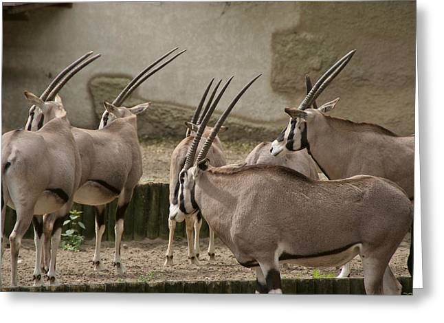 Gemsbok (oryx Gazella) Greeting Cards - On the Lookout W9678 Greeting Card by Wes and Dotty Weber