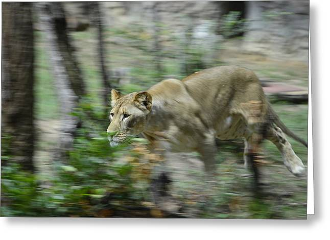 Lioness Greeting Cards - On the Move Greeting Card by Darrell Clakley