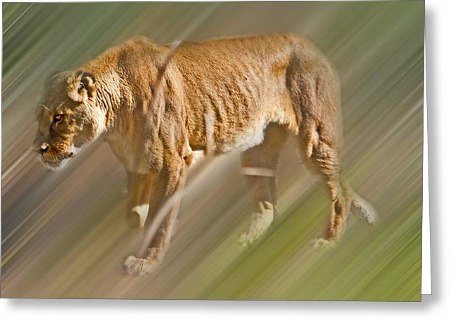 Lioness Greeting Cards - On The Prowl Greeting Card by Miroslava Jurcik