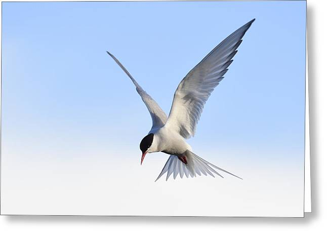Tern Greeting Cards - On The Spot Greeting Card by Tony Beck