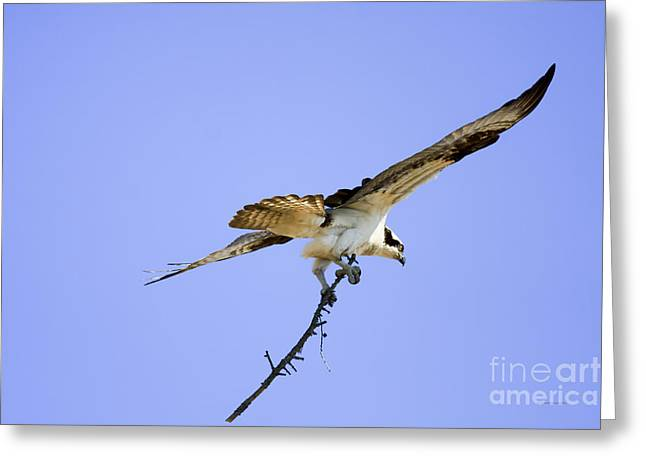 Nature Nesting Greeting Cards - On To The Nest Greeting Card by Deborah Benoit