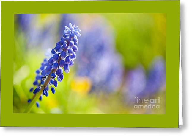 Blue Grapes Greeting Cards - One blue Muscari Mill flower stem close-up  Greeting Card by Arletta Cwalina