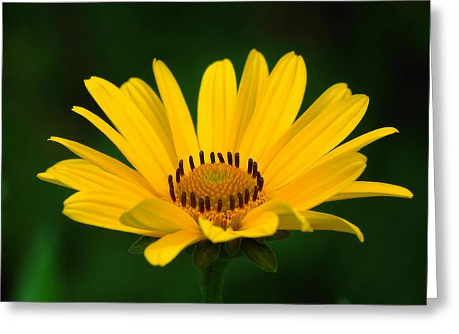 One Daisy Greeting Card by Juergen Roth