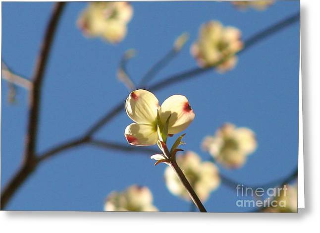 One Dogwood Blooms Greeting Card by Laura Brightwood