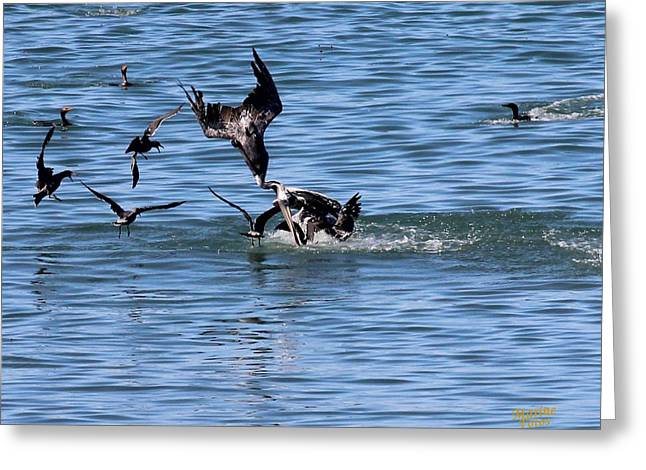 Diving In California Greeting Cards - One Pelican Diving  Greeting Card by Gary Canant