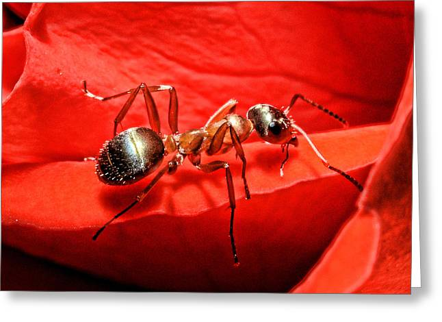 Insects Greeting Cards - One Soldier Greeting Card by Lawrence Christopher