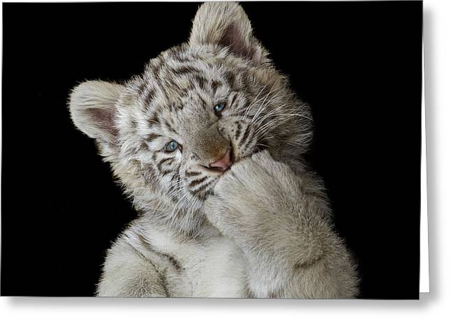 Tiger Photographs Greeting Cards - Oops! Did I Scare You? Greeting Card by Pedro Jarque