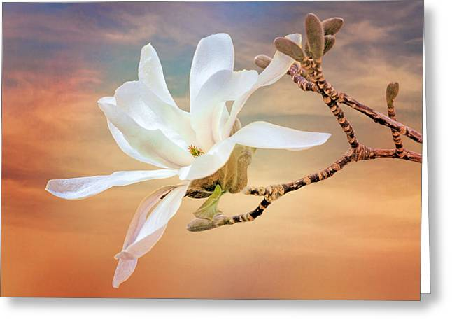 Magnoliaceae Greeting Cards - Open Magnolia on Texture Greeting Card by Nikolyn McDonald