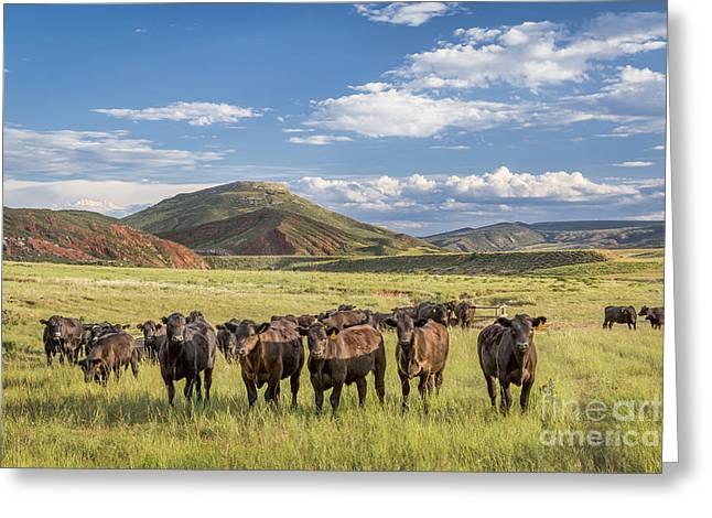 Geology Photographs Greeting Cards - Open range cattle in Colorado Greeting Card by Marek Uliasz