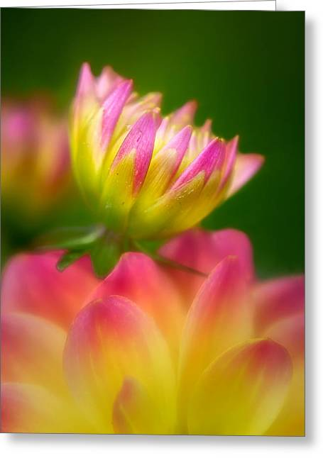 Magnificient Flowers Greeting Cards - Opening Dahlia Greeting Card by Carolyn Derstine