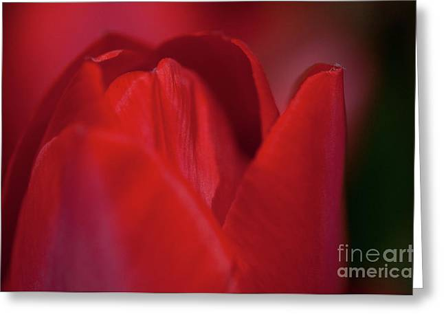 Angelini Greeting Cards - Opening Red Tulip visit www.AngeliniPhoto.com for more Greeting Card by Mary Angelini
