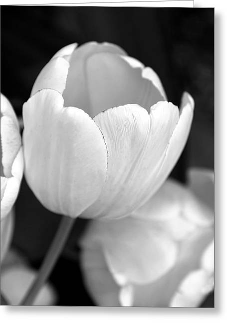 White Tulip Greeting Cards - Opening Tulip Flower Black and White Greeting Card by Jennie Marie Schell