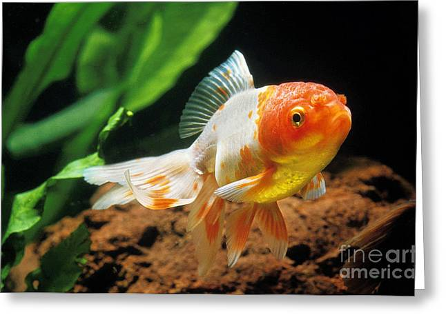 Oranda Greeting Cards - Oranda Goldfish Carassius Auratus Greeting Card by Gerard Lacz