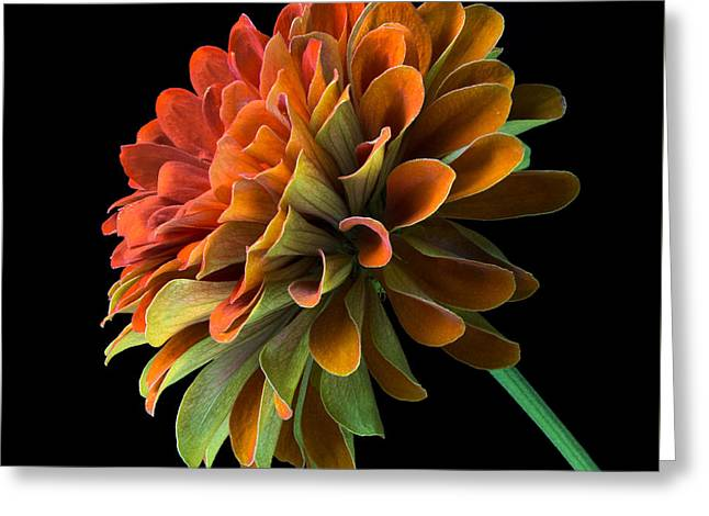 Zinnias Greeting Cards - Orange and Green Zinnia  Greeting Card by Jim Hughes