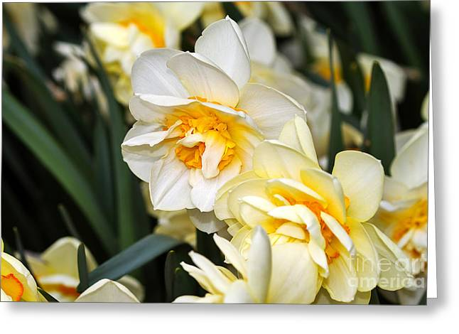 Daffodils Photographs Greeting Cards - Orange and Yellow Double Daffodil Greeting Card by Louise Heusinkveld