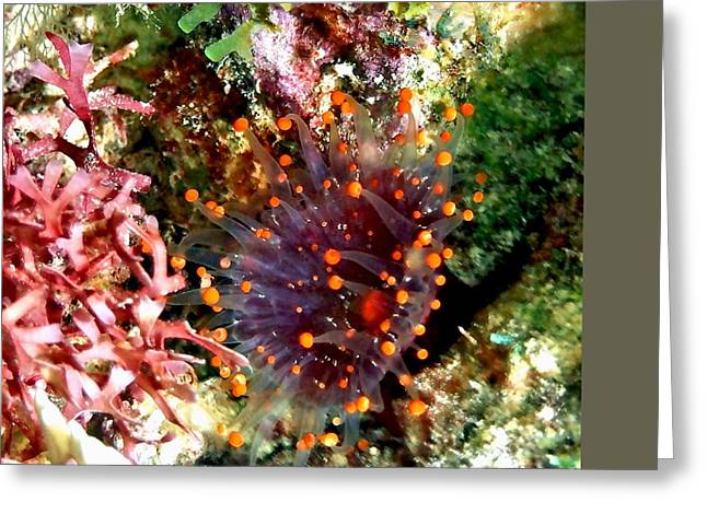 Snorkel Greeting Cards - Orange Ball Corallimorph Anemone Greeting Card by Amy McDaniel