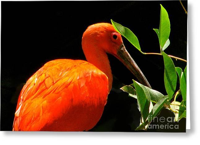 Bird On The Ground Greeting Cards - Orange Beauty Greeting Card by Debra     Vatalaro