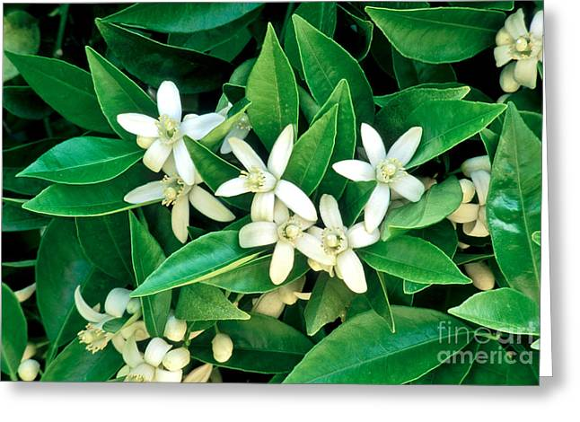 California Agriculture Greeting Cards - Orange Blossoms, Foliage Greeting Card by Inga Spence