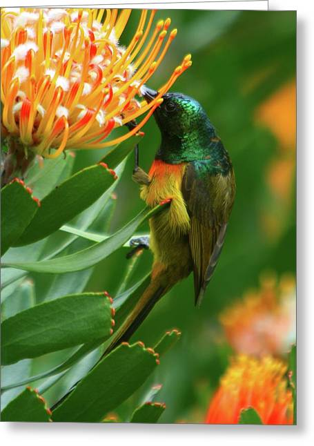 Orange-breasted Sunbird Feeding On Protea Blossom Greeting Card by Bruce J Robinson