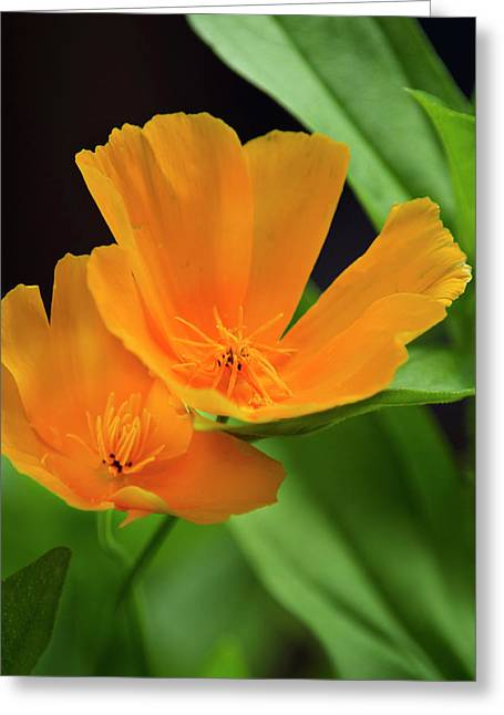 Tangerine Greeting Cards - Orange California Poppies Greeting Card by Christina Rollo