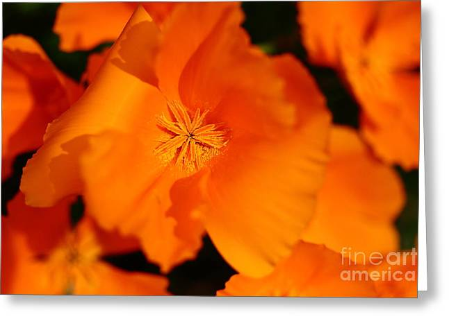 Orange California Poppy . 7d14794 Greeting Card by Wingsdomain Art and Photography