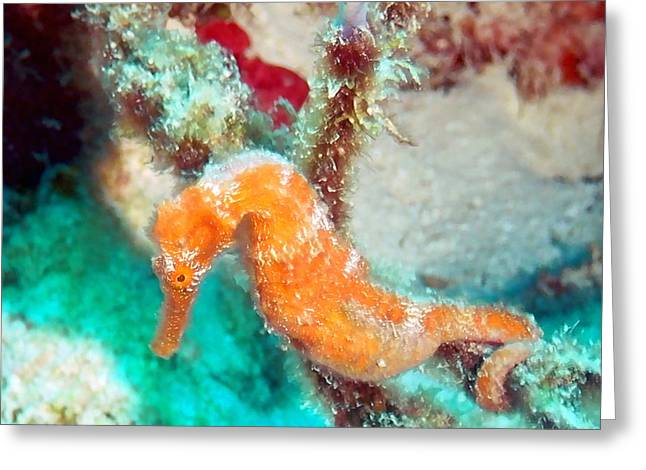 Snorkel Greeting Cards - Orange Caribbean Sea Horse Greeting Card by Amy McDaniel