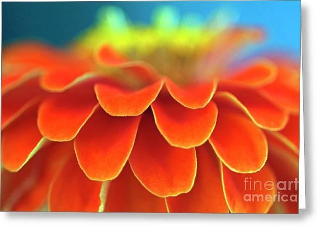 Zinnia Elegans Greeting Cards - Orange common zinnia Greeting Card by Sami Sarkis