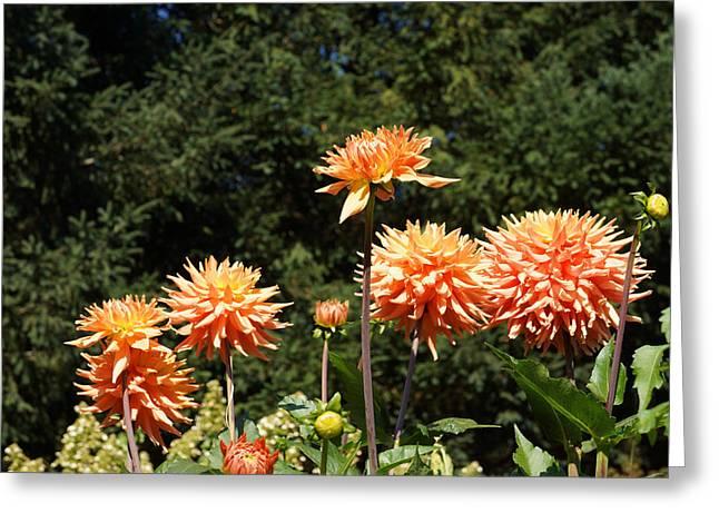 Orange Dahlia Flower Garden Art Prints Greeting Card by Baslee Troutman Floral Art Prints