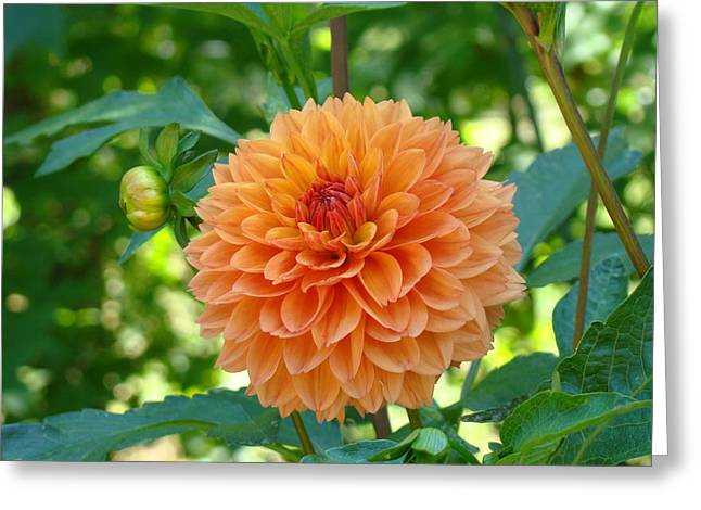 Baslee Troutman Greeting Cards - Orange Dahlia Master Gardeners Art Collection Baslee Troutman Greeting Card by Baslee Troutman