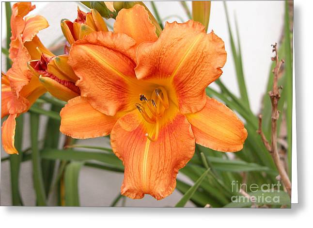 Sunlight On Flowers Greeting Cards - Orange daylily growing in Queensland Greeting Card by Wendy Townrow
